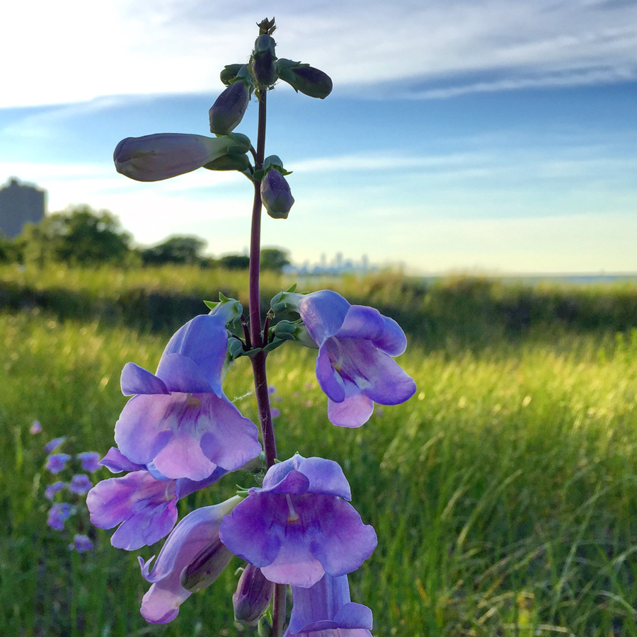 Penstemon grandiflorus at the South Shore Nature Sanctuary [Eric Allix Rogers/Chicago Patterns]